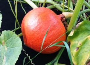 Im letzten Jahr eine Pleite, diesmal ein voller Erfolg: unsere Kürbis-Ernte | Foto: phlora.de/Torsten Meise