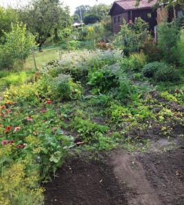 Momentaufnahme aus dem Gemüsegarten. Die Kartoffeln sind schon aus dem Boden (unten) | Foto: phlora.de/Torsten Meise