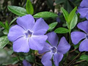 Immergrün webt blaue Blütenteppiche © Wikipedia | Jina Lee