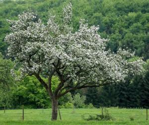 Apfelbaum, im Würde gealtert | Foto: pixabay