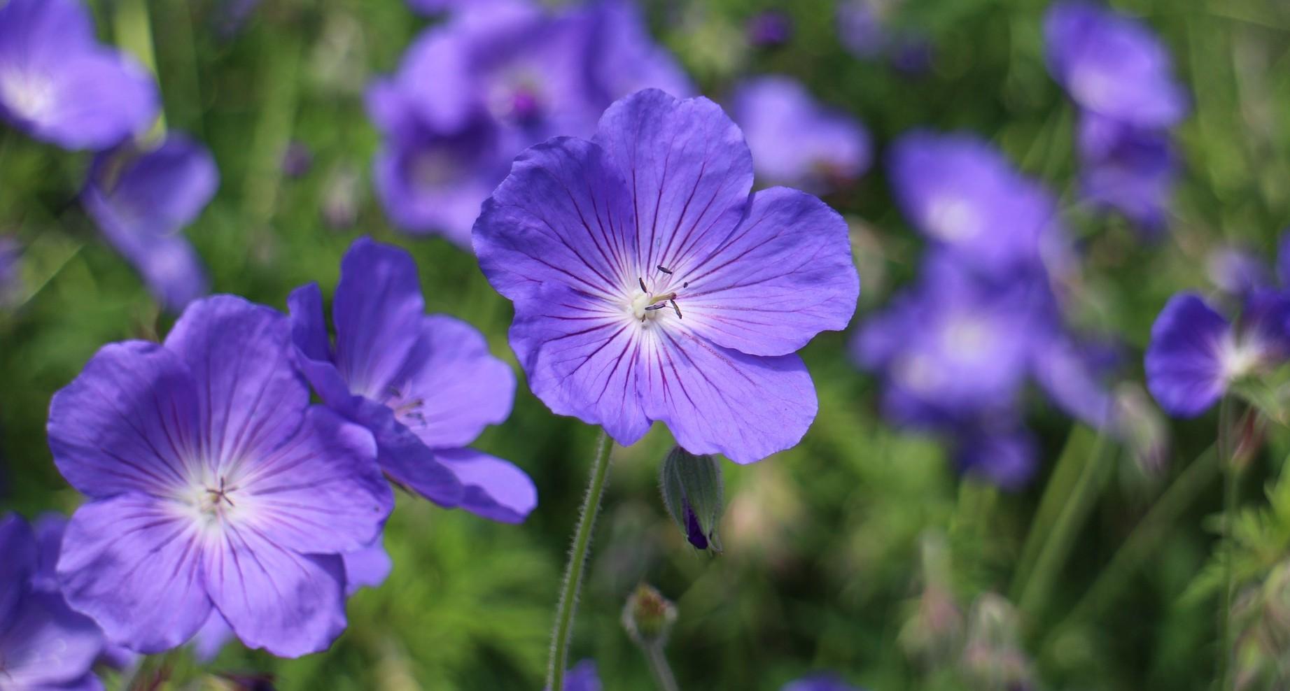 Drei Blaue Pflanzen Die Deinen Garten Fur Immer Verandern Phlora De