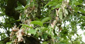 Mehltau an Apfelbaum