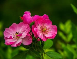 Rose_ungefüllt_Pixabay_web