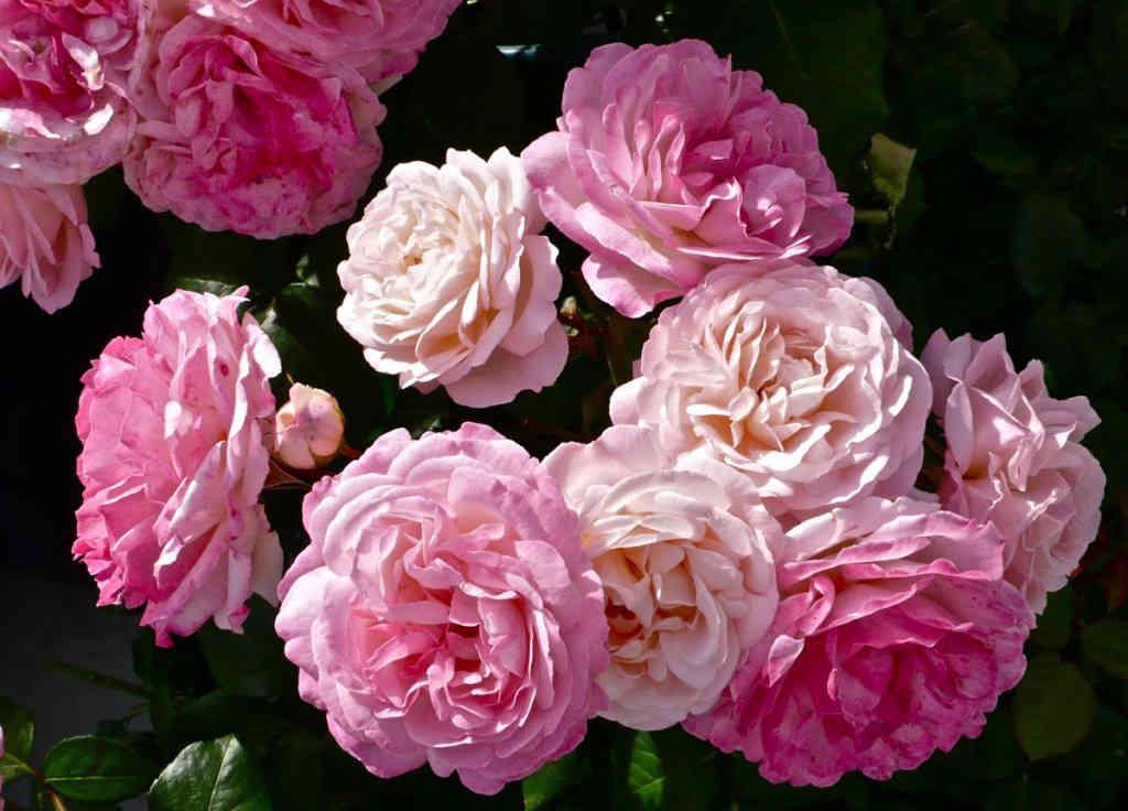 rosen f r schattige standorte