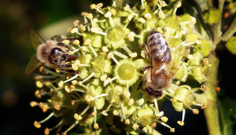 letzte rettung f r insekten efeu als herbst und winternahrung. Black Bedroom Furniture Sets. Home Design Ideas