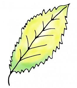 Blatt einer Zimmerpflanze die zu viel Wasser erhalten hat Zeichnung