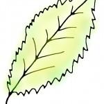 Eisenmangel Zimmerpflanze Blatt Zeichnung