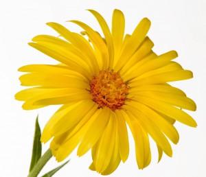 Pixabay_Calendular_glandular-cape-marigold-1107359_1920