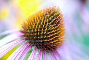 Pixabay_Sonnenhut_bloom-22786_1920
