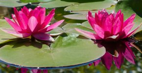 lily-943252_1280