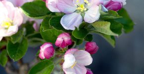 apple-blossom-1765938_1280