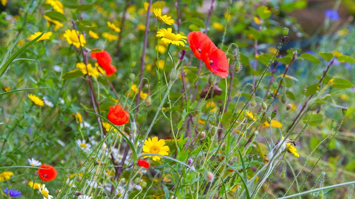 Gut für Insekten: Naturnahe Blumenwiesen als Alternative zu ödem Rasen.